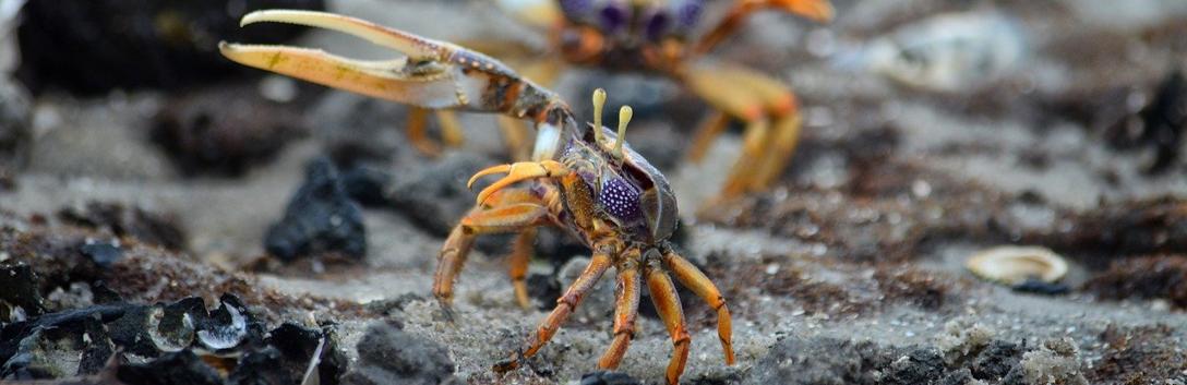 Crabe violoniste, exemple d'asymétrie dans le règne animal.