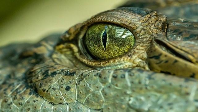 Image oeil de crocodile